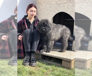 Bouvier Des Flandres Puppy for sale in Belgrade, Central Serbia, Serbia