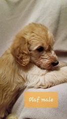Labradoodle-Poodle (Standard) Mix Puppy For Sale in HENDERSON, NV, USA