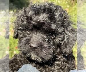 Cavapoo Puppy for sale in SANTA BARBARA, CA, USA
