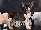 French Bulldog Puppy For Sale near 23229, Henrico, VA, USA