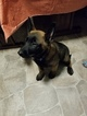 Belgian Malinois Puppy For Sale in HAMILTON, OH, USA