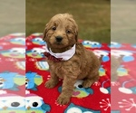 Small #11 Goldendoodle
