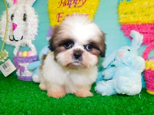 View Ad Shih Tzu Puppy For Sale Near Indiana Hammond Usa Adn 67136
