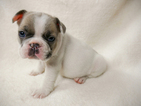 French Bulldog Puppy For Sale in BELLEAIR, FL, USA