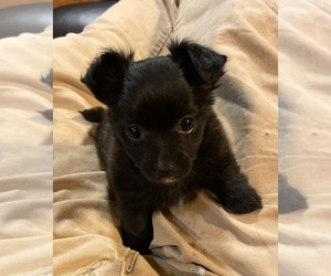 Chihuahua Puppy for sale in FAYETTEVILLE, NC, USA