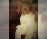 Puppy 1 German Shorthaired Pointer
