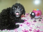 Poodle (Toy) Puppy For Sale in PATERSON, NJ, USA