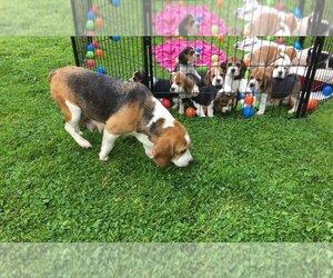 Beagle Puppy for sale in Darlington, Durham (England), United Kingdom