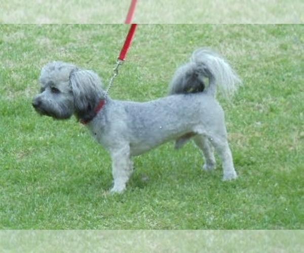 Medium Photo #1 Havanese Puppy For Sale in WINSTON SALEM, NC, USA