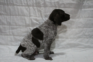 German Shorthaired Pointer Puppy For Sale in GLENCOE, MN, USA