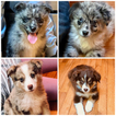 Australian Shepherd Puppy For Sale in GARLAND, NC, USA