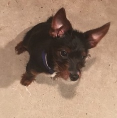 Chorkie Puppy for sale in HOUSTON, TX, USA