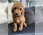 Small #6 Goldendoodle-Poodle (Standard) Mix