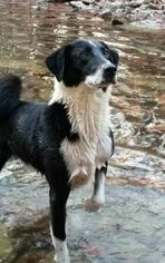 Nashville Karelian Bear Dog Mix For Adoption