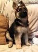 German Shepherd Dog Puppy For Sale in GERBER, CA, USA