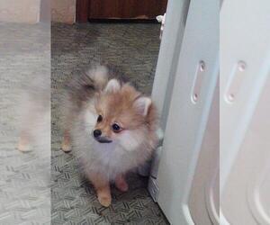 Pomeranian Puppies for Sale near Houston, Texas, USA, Page 1 (10 per