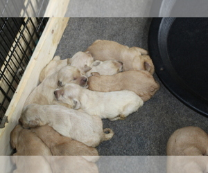 Golden Retriever Puppy for Sale in SPENCER, Tennessee USA