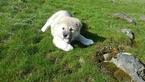 Akita Puppy For Sale in SPOKANE, WA