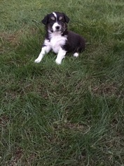 Miniature Australian Shepherd Puppy For Sale in BIRCHWOOD, TN, USA