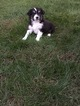 Miniature Australian Shepherd Puppy For Sale in BIRCHWOOD, TN