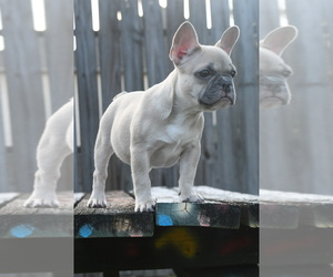 French Bulldog Puppy for sale in SUGAR LAND, TX, USA