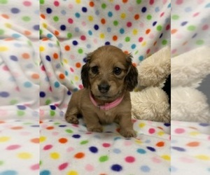 Dachshund Puppy for Sale in HEMPSTEAD, Texas USA