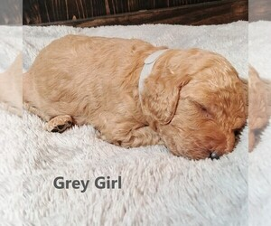 Goldendoodle Puppy for Sale in GEORGETOWN, Indiana USA
