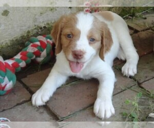 Brittany Puppies for Sale in USA, Page 1 (10 per page) - Puppyfinder com