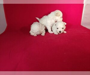 Bichon Frise Puppy for sale in WINSTON SALEM, NC, USA