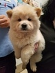 4 Beautiful Chow Chow Puppies