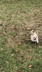 Small #16 Chihuahua
