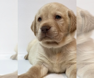Labrador Retriever Puppy for sale in LEXINGTON, KY, USA
