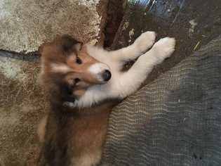 Collie Puppy for sale in GRACEVILLE, MN, USA
