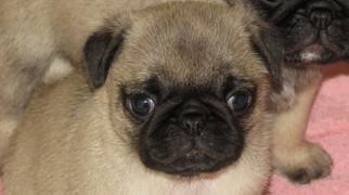 View Ad: Pug Puppy for Sale near Oregon, ESTACADA, USA  ADN