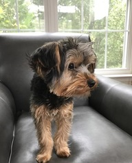 Yorkshire Terrier Puppy For Sale in BOWLING GREEN, KY, USA
