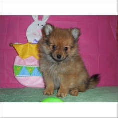 Pomeranian Puppy For Sale in TUCSON, AZ