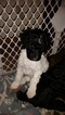 Poodle (Standard) Puppy For Sale in HAWLEY, MN