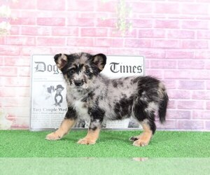 Poodle (Toy)-Shiba Inu Mix Puppy for sale in BEL AIR, MD, USA