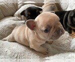 Small Photo #3 French Bulldog Puppy For Sale in FLEMING ISLAND, FL, USA