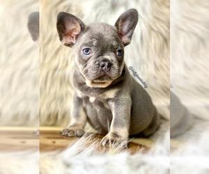 French Bulldog Dog for Adoption in OJAI, California USA