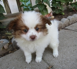 Paperanian Puppy for sale in TUCSON, AZ, USA
