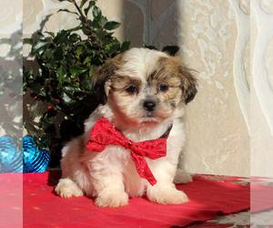 Zuchon Dog for Adoption in GORDONVILLE, Pennsylvania USA