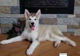 Alaskan Malamute Puppy For Sale in CAPRON, VA, USA