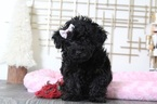 Poodle (Toy)-Yorkshire Terrier Mix Puppy For Sale in BEL AIR, MD, USA