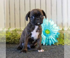 Boston Terrier-Cavalier King Charles Spaniel Mix Puppy for sale in MORGANTOWN, PA, USA