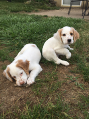 English Setter Puppy for sale in FT MITCHELL, KY, USA