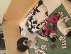 English Springer Spaniel Puppy For Sale in HILLSBORO, OR