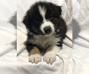 Australian Shepherd Puppy for Sale in BEL AIR, Maryland USA