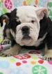 Bulldog Puppy For Sale in FAIR LAWN, NJ