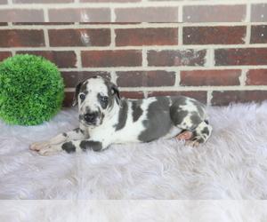 Great Dane Puppy for sale in GOSHEN, IN, USA